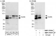 NBP1-78746 - C19orf29 / Cactin