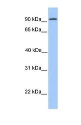 NBP1-59248 - Cadherin-16