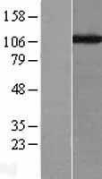 NBL1-09139 - Caf1p150 Lysate