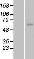 NBL1-08837 - Calicin Lysate