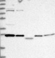 NBP1-87422 - Calneuron-1