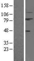 NBL1-08677 - Calpain 1 Lysate