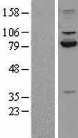 NBL1-08680 - Calpain 2 Lysate