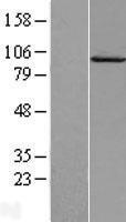 NBL1-08683 - Calpain 7 Lysate