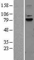 NBL1-08684 - Calpain-9 Lysate