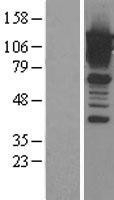 NBL1-08722 - Calpastatin Lysate