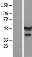 NBL1-08719 - Calsequestrin 1 Lysate
