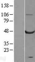 NBL1-08720 - Calsequestrin 2 Lysate