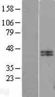 NBL1-08657 - Calumenin Lysate
