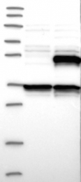 NBP1-85494 - Carboxypeptidase A4