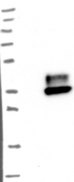 NBP1-85743 - CD66d / CEACAM3
