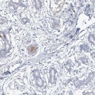 NBP1-91150 - Alpha-S1-casein