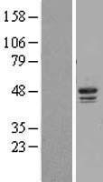 NBL1-09529 - Casein Kinase 1 delta Lysate