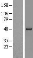 NBL1-09530 - Casein Kinase 1 delta Lysate