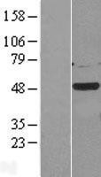 NBL1-09533 - Casein Kinase 1 gamma 2 Lysate