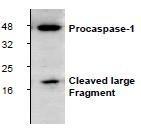 NBP1-45433 - Caspase-1