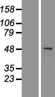 NBL1-08705 - Caspase 1 Lysate