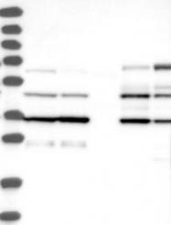 NBP1-87681 - Caspase-4