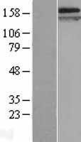 NBL1-09337 - Caspr Lysate