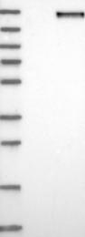 NBP1-88182 - CNTNAP2