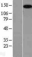 NBL1-09338 - Caspr2 Lysate