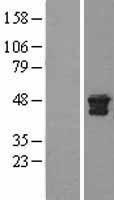 NBL1-09590 - Cathepsin D Lysate