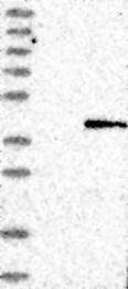 NBP1-90610 - Cathepsin O