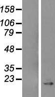 NBL1-08729 - Caveolin 1 Lysate