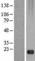 NBL1-08732 - Caveolin 3 Lysate