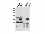 NBP1-78063 - UBASH3B / STS1