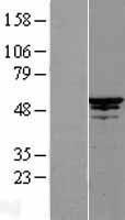 NBL1-08992 - Cdc20 Lysate
