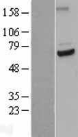 NBL1-08993 - Cdc23 Lysate