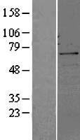 NBL1-08995 - Cdc25B Lysate
