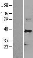 NBL1-10647 - FBW7 Lysate