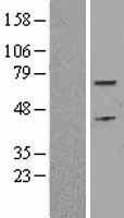 NBL1-09014 - Cdc6 Lysate