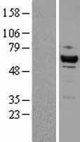 NBL1-09046 - Cdk8 Lysate