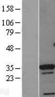 NBL1-09066 - Cdx4 Lysate