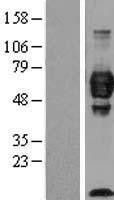 NBL1-08639 - Cell adhesion molecule 4 Lysate