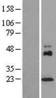 NBL1-09115 - Centrin 1 Lysate
