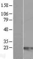 NBL1-09116 - Centrin 2 Lysate
