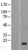 NBL1-15160 - RARRES2 Lysate