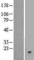 NBL1-09219 - Chemokine-like factor Lysate