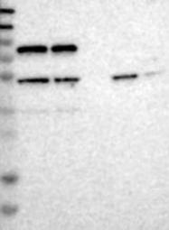 NBP1-90108 - ARHGAP3 / CHN2
