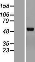 NBL1-09166 - Chimaerin 2 Lysate