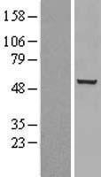 NBL1-09146 - Chk1 Lysate
