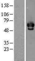 NBL1-09147 - Chk2 Lysate