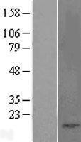 NBL1-08838 - Cholecystokinin Lysate