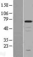 NBL1-09149 - Chromogranin A Lysate