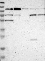 NBP1-85631 - Secretogranin-2 (SCG2)