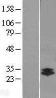 NBL1-09585 - Chymotrypsin-like protease Lysate